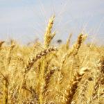 Paraná pretende liderar produção nacional de trigo, segundo o Governo do Estado